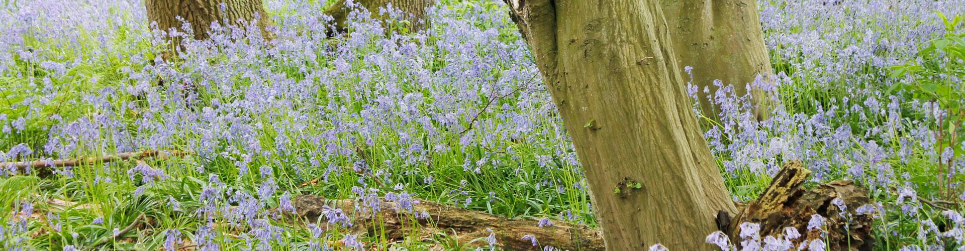 Norfolk Bluebell Wood